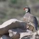 rock-partridge-alectoris-graeca-1280x720